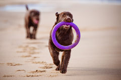 Labrador retriever dog playing at the sea Stock Image