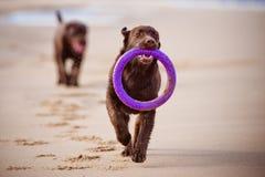 Labrador retriever dog playing at the sea Stock Image