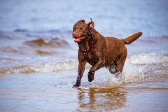 Labrador retriever dog playing at the sea Stock Images