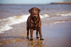 Labrador retriever dog playing at the sea Royalty Free Stock Photo