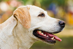 Labrador Retriever dog Portrait outdoor Royalty Free Stock Photos