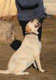 Labrador Retriever dog portrait royalty free stock photography