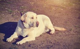 Labrador Retriever dog portrait Royalty Free Stock Photo