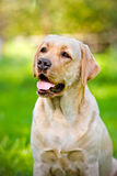 Labrador retriever dog portrait Stock Photos