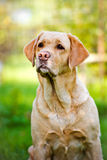 Labrador retriever dog portrait Royalty Free Stock Photos