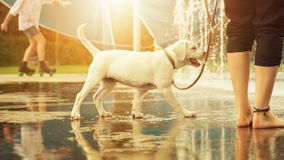 Labrador Retriever dog puppy and water fountain royalty free stock images