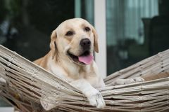 Labrador retriever dog rest on rope hammock. Cute Labrador retriever puppy sit and rest on rope hammock in front of house entrance. Portrait of Happy adorable Royalty Free Stock Photo