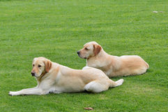 Labrador retriever dog resting Royalty Free Stock Images