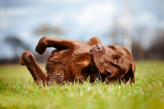 Labrador retriever dog rolling on the grass Royalty Free Stock Image