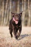 Labrador retriever dog running outdoors Stock Photos