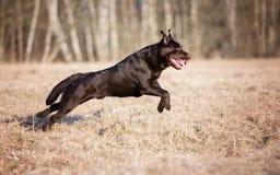 Labrador retriever dog running outdoors Stock Photography