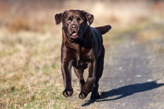 Labrador retriever dog running outdoors Royalty Free Stock Image