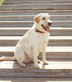 Labrador retriever dog sitting in the city Royalty Free Stock Photography