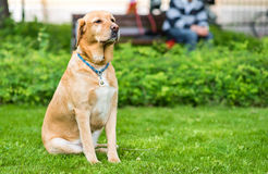 Labrador retriever dog sitting in the green park royalty free stock photo