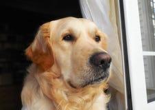 Labrador retriever dog Stock Image