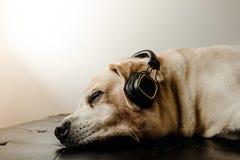 Labrador retriever dog sleeping and headphone. The Labrador retriever dog sleeping Royalty Free Stock Photos