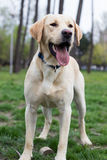 Labrador retriever dog standing and looking away Stock Images