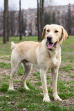Labrador retriever dog standing and looking away Royalty Free Stock Image