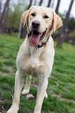 Labrador retriever dog standing and looking away Stock Photography