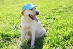Labrador retriever dog in summer cap sitting Stock Photos