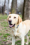 Labrador retriever dog waiting for you to throw the ball Royalty Free Stock Photography
