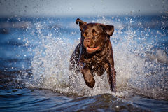 Labrador retriever dog in the water Stock Photo