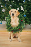 Labrador retriever dog wearing Christmas wreath Stock Photo