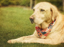Labrador Retriever Dog Wearing a Scarf Stock Images