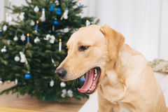 Labrador retriever dog yawning Stock Photo