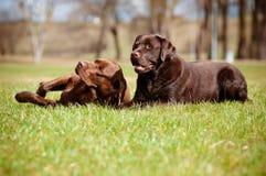 Labrador retriever dogs Stock Photos