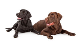 Labrador Retriever Dogs Looking to Side Stock Images
