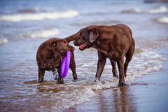 Labrador retriever dogs playing at the sea royalty free stock photo
