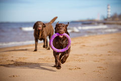 Labrador retriever dogs playing at the sea Stock Photo