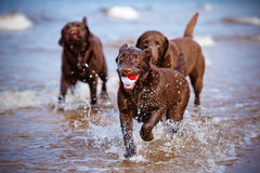 Labrador retriever dogs playing at the sea Royalty Free Stock Image