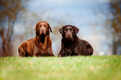 Labrador retriever dogs Stock Photography