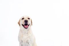 Labrador retriever dorato Fotografia Stock