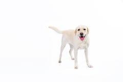 Labrador retriever dorato Fotografie Stock