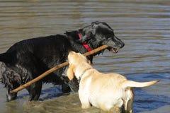 Labrador retriever dorato, labrador retriever nero Immagini Stock