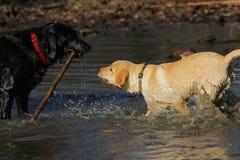 Labrador retriever dorato, labrador retriever nero Fotografia Stock