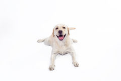 Labrador retriever dourado Imagem de Stock Royalty Free