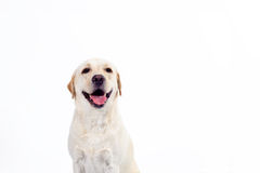 Labrador retriever dourado Foto de Stock