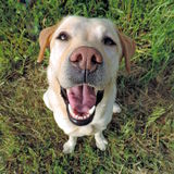 Labrador retriever dourado de sorriso de uma vista superior Fotografia de Stock Royalty Free