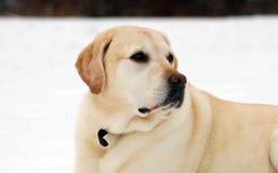 Labrador retriever doux jouant dans la neige, beau meilleur chien Photographie stock