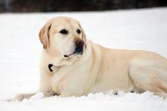 Labrador retriever doux jouant dans la neige, beau meilleur chien Images stock