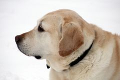 Labrador retriever doux jouant dans la neige, beau meilleur chien Photos stock