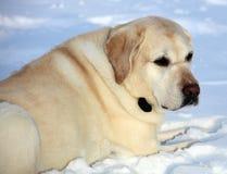Labrador retriever doux jouant dans la neige, beau meilleur chien Image stock