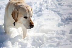 Labrador retriever doux jouant dans la neige, beau meilleur chien Photo stock