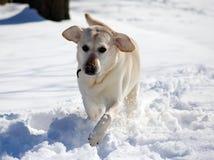 Labrador retriever doux jouant dans la neige, beau meilleur chien Image libre de droits