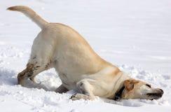 Labrador retriever doux jouant dans la neige, beau meilleur chien Photographie stock libre de droits