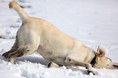 Labrador retriever doux jouant dans la neige, beau meilleur chien Photo libre de droits
